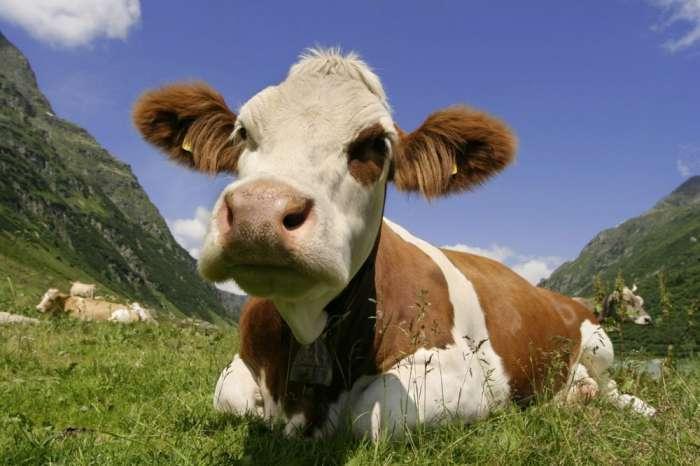 Sat kravlje terapije 75 dolara