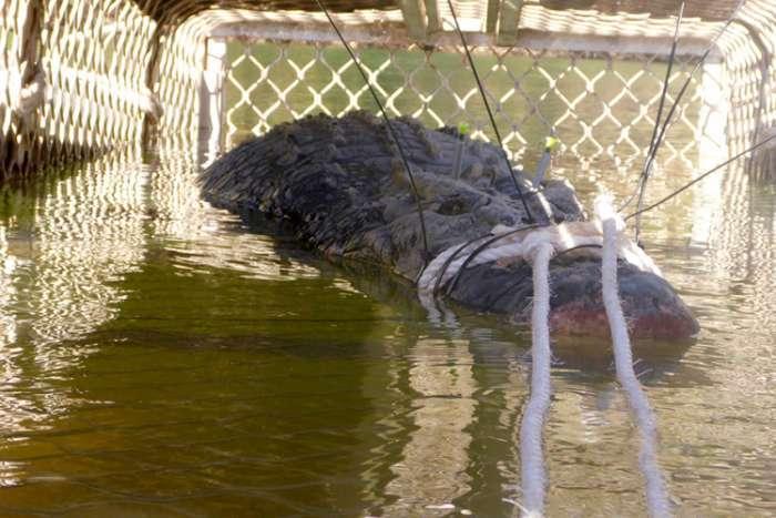 Uhvaćen krokodil od 600 kg