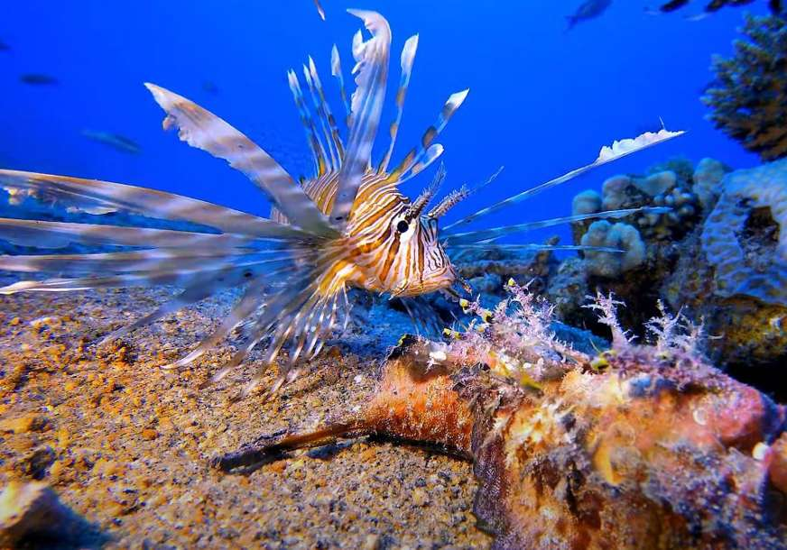 U Jadranskom moru se pojavila opasna riba paun